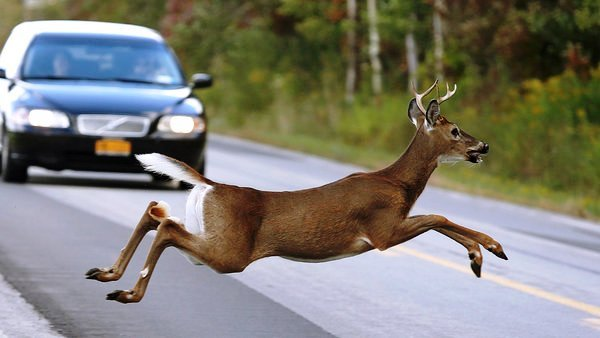 Safe Driver Tips For Avoiding Collisions With Deer