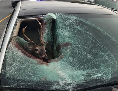 Deer Jumps Though Moving Car on Highway 53